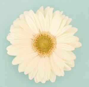 White-Gerbera